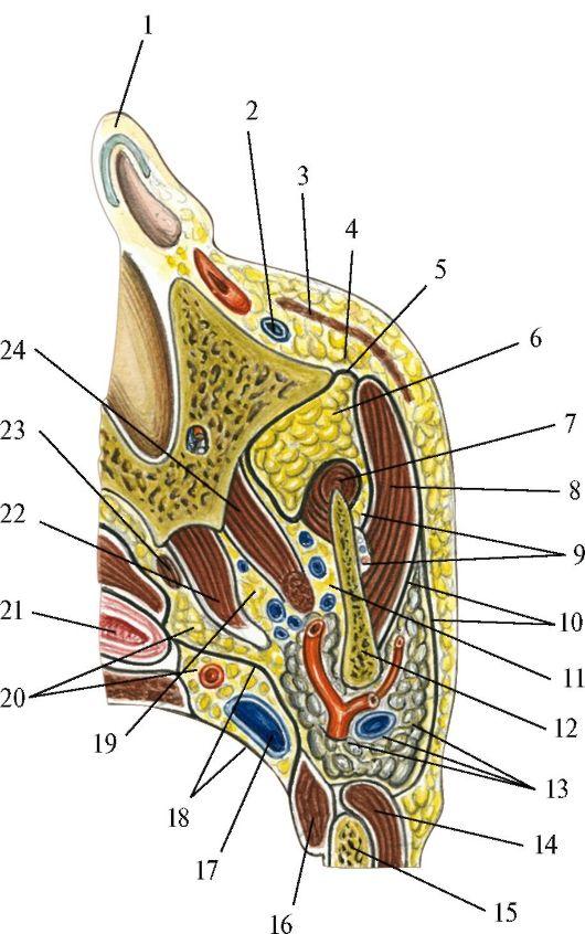 Схема клетчаточных пространств
