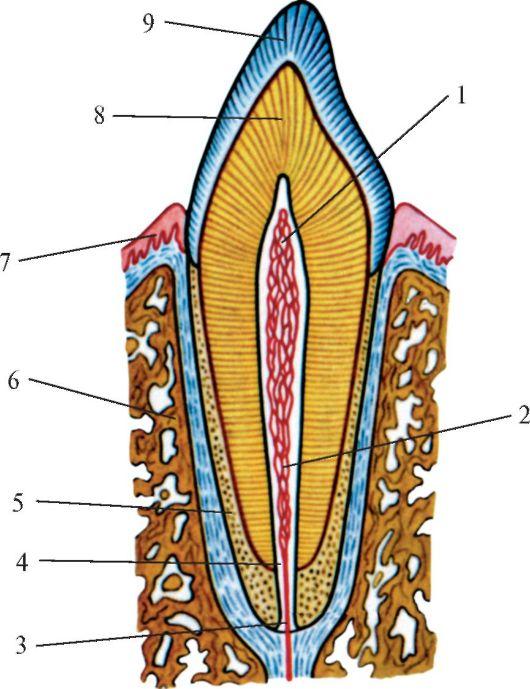 Положение однокорневого зуба в