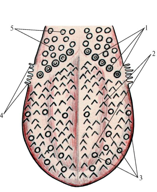 Схема расположения сосочков на
