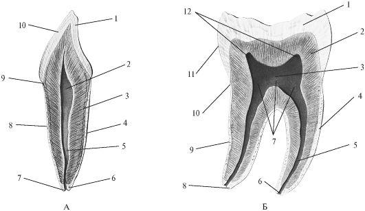 Схема строения однокорневого