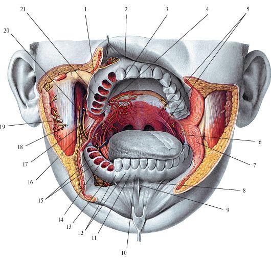 Переходная складка губы