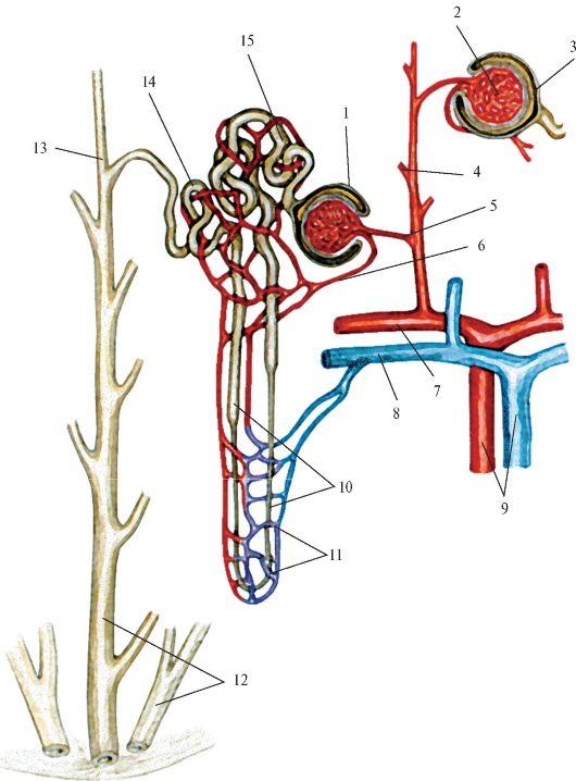 Схема строения нефрона.