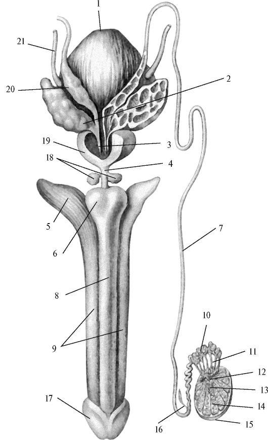 Железы Куперовы