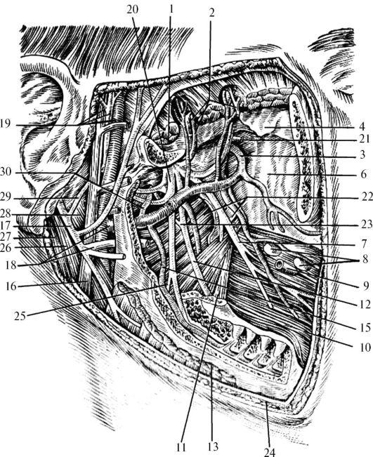 Крыловидное венозное сплетение