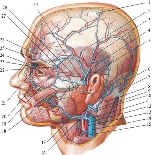 артерии и вены головы.