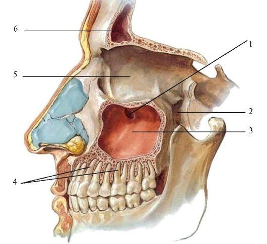 малого коренного зуба,