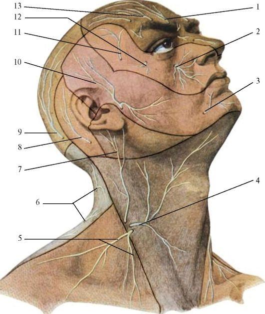 Поверхностные нервы головы и