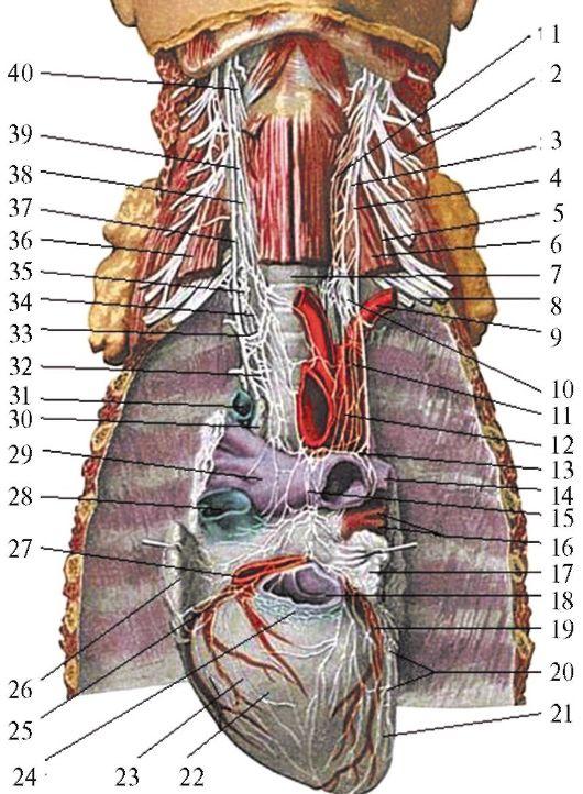 Нерв диафрагмальный фото