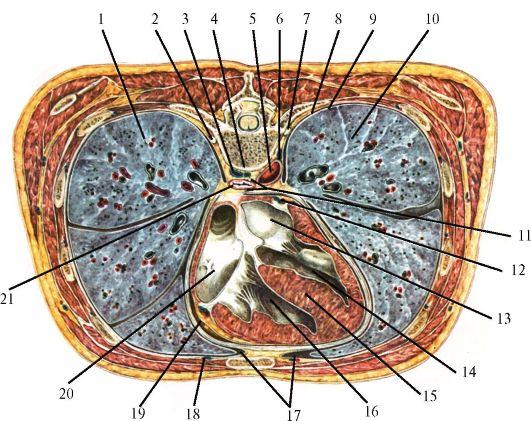 Кровеносные сосуды сердца