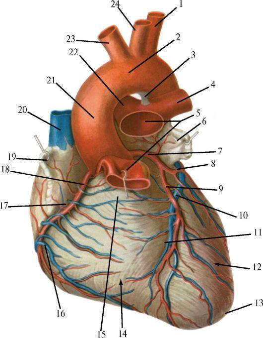 Артерии и вены сердца.