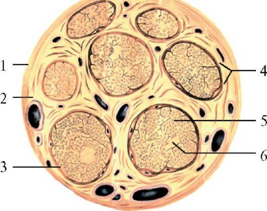 Схема строения нерва на