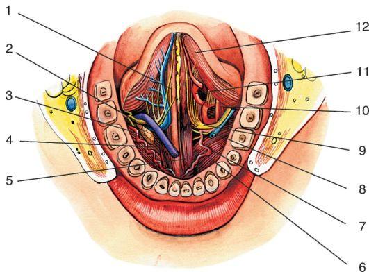 Мышцы, сосуды и нервы языка;
