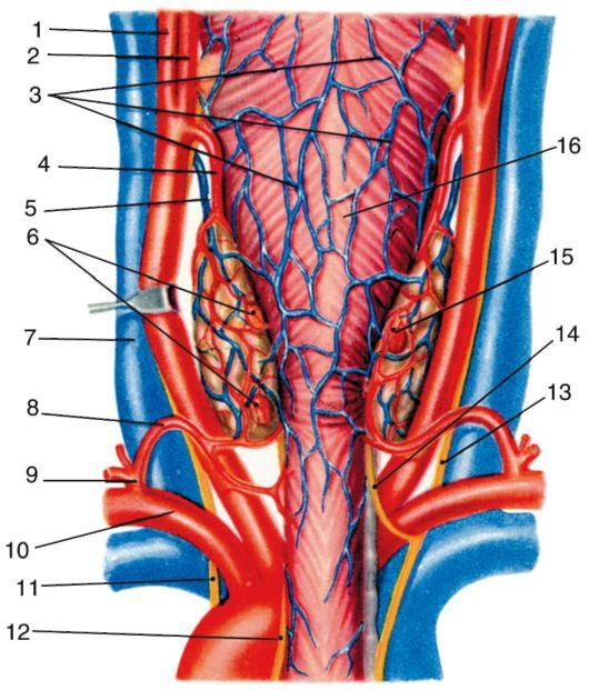 Железа Подъязычная фото
