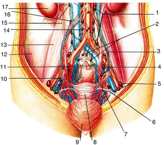 Лимфатическая система таза: