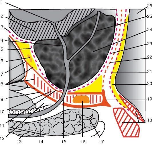 сагиттальном срезе (схема)