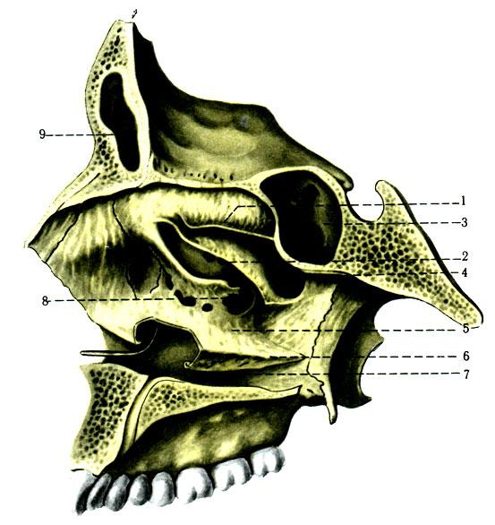 63. Латеральная стенка скелета полости носа. 1 - concha nasalis superior; 2 - concha nasalis media; 3 - sinus sphenoidalis; 4 - meatus nasi superius; 5 - meatus nasi medius; 6 - concha nasalis inferior; 7 - meatus nasi inferior; 8 - hiatus sinus maxillaris; 9 - sinus frontalis
