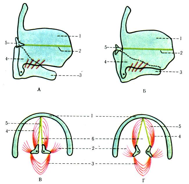 Схема движения хрящей гортани.