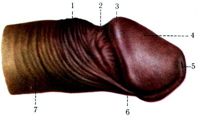Член мужской орган