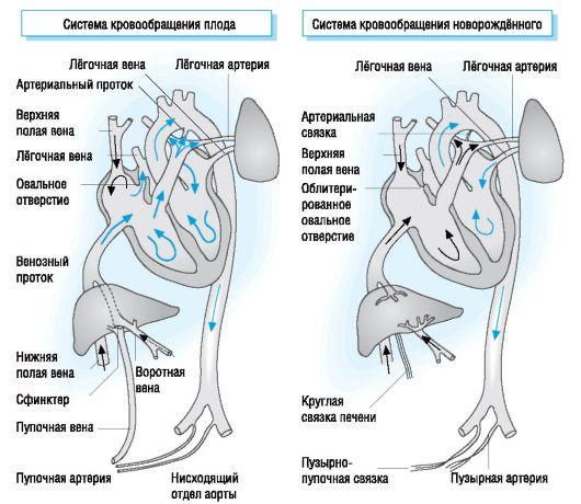 Кровообращение плода (слева) и