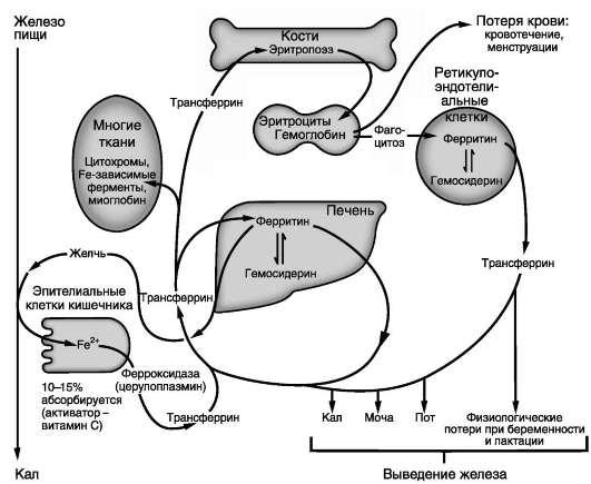Метаболизм железа в организме.