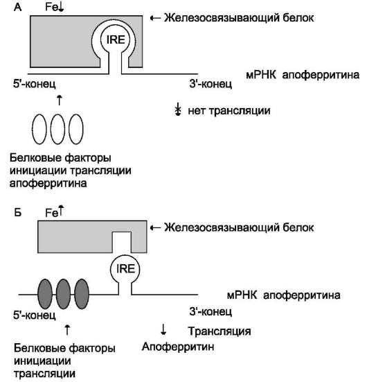 содержания железа в клетке