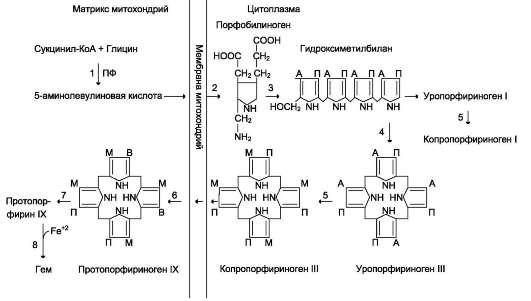 Синтез гема. Цифрами на схеме