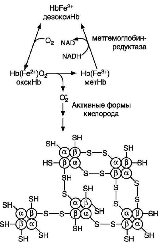 Схема образования телец Хайнца