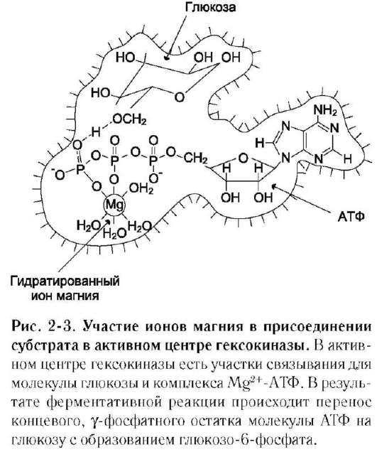 фермента (см. схему Б).