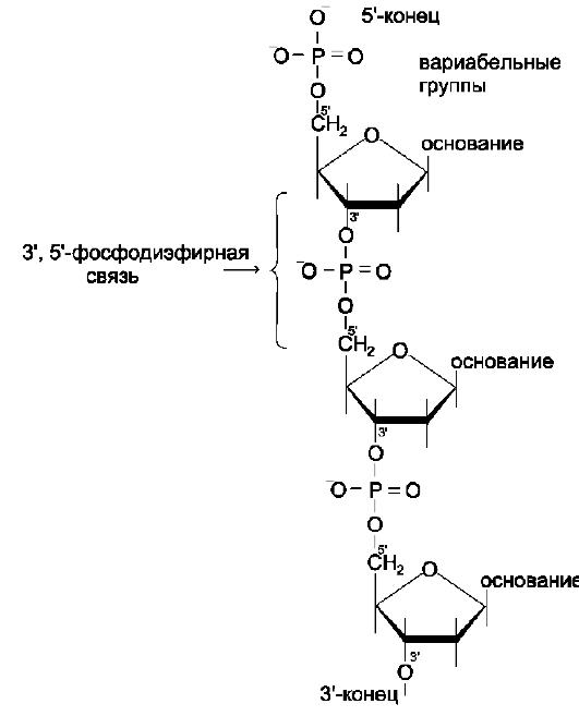 Первичная структура ДНК