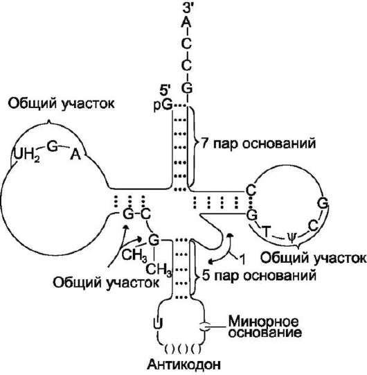 Строение транспортных РНК.
