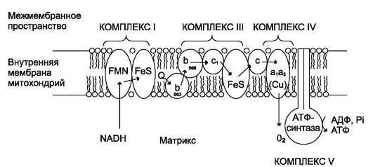 Митохондриальная цепь переноса