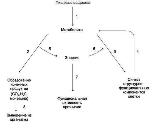 Общая схема обмена веществ и