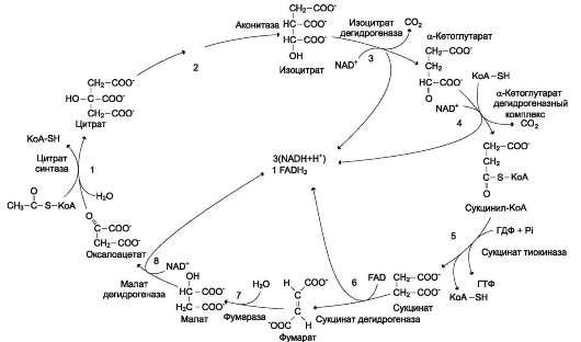 Общая схема цитратного цикла.