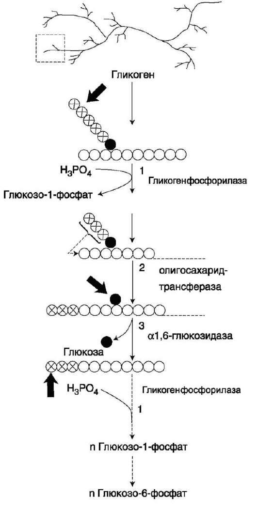 В рамке - фрагмент гликогена с