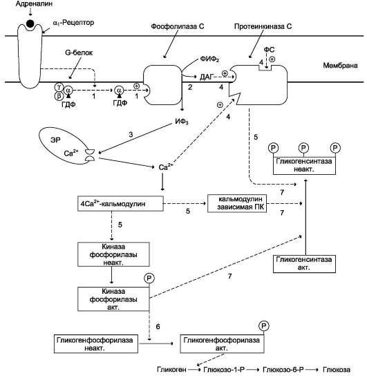 Регуляция синтеза и распада