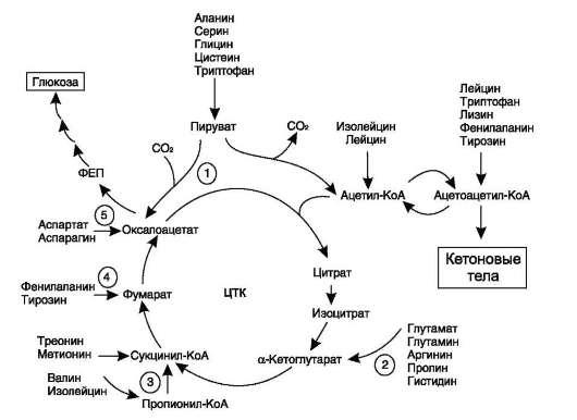 Аминокислоты, которые