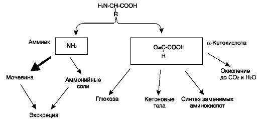 этапы метаболизма аммиака в