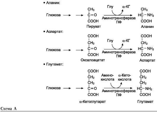 аминокислот Глу и Асп (см.