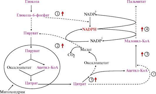 схема синтеза глюкозы и лактата