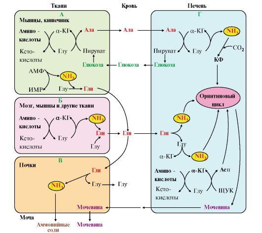аминокислот и аммиака: