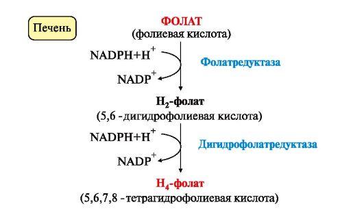 Схема синтеза Н4-фолата в