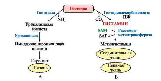 Схема обмена гистидина в