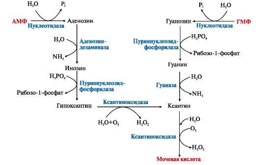 Образование мочевой кислоты.