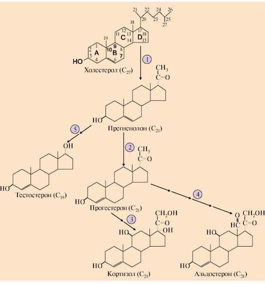Кортикостероиды синтез стероиды название препаратов