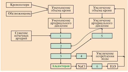Схема регуляции водно-солевого