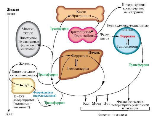 биохимия железа в организме