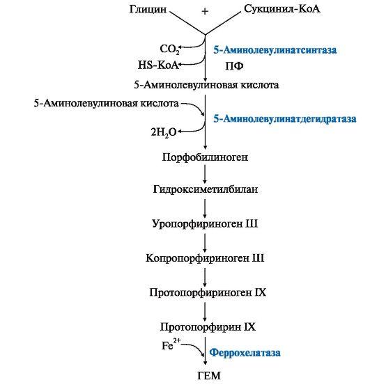Рис. 13.1. Синтез гема.
