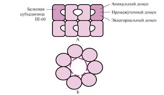 Структура шаперонинового