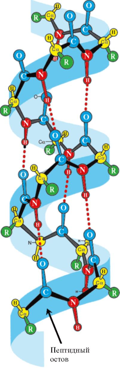 Вторичная структура белка - α-