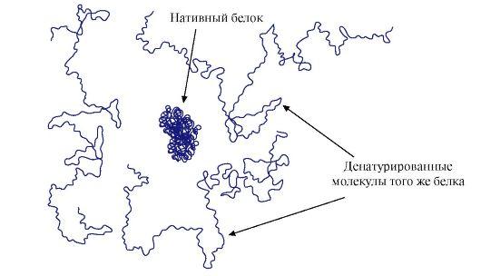 Структура нативного белка и